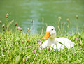 White Duck Royalty Free Stock Image - 29702736