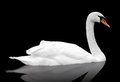 White Swan Floats In Water. Stock Photography - 29705742