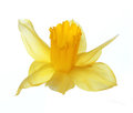 Yellow Narcissus Flower Isolated On White Royalty Free Stock Images - 29722669