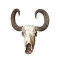 Bull Cranium Royalty Free Stock Images - 29723539