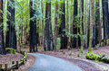 Road Through The Redwood Forest Royalty Free Stock Images - 29726239