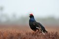 Black Grouse Call Stock Images - 29726474