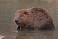 Close-up Of Beaver Stock Photography - 29729152