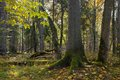 Moss Wrapped Spruce Tree In Autumn Royalty Free Stock Photography - 29737967