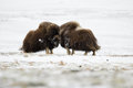 Fighting Musk-ox Pair In Norge Stock Photo - 29741850