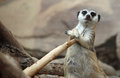 Meerkat Royalty Free Stock Photography - 29743357