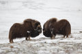 Fighting Musk-ox Pair In Norge Stock Image - 29746251