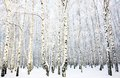 Beautiful Birch Grove With Covered Snow Royalty Free Stock Photo - 29769315