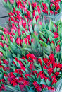 Red Tulips Royalty Free Stock Image - 29788166