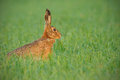 Early Morning Hare Royalty Free Stock Photo - 29799295