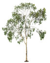 Tree On White Background Royalty Free Stock Photography - 29801317