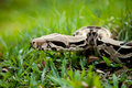 Columbia Boa Constrictor. Royalty Free Stock Photography - 29805697