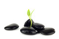 Black Stones With Young Little Plant Stock Photography - 29824672