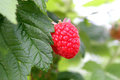 Growing Raspberry In Hydroponic Plantation Stock Image - 29846321