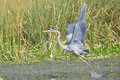 Great Blue Heron Flight Royalty Free Stock Images - 29860759