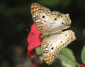 A White Peacock Butterfly Feeding On Red Flower Royalty Free Stock Photo - 29883705