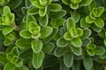 Fresh Marjoram Stock Images - 29892404