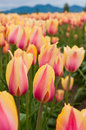 Yellow-pink Tulips On The Field Stock Photography - 29898972
