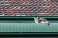 Stray Cat On A Roof Royalty Free Stock Photo - 29908495
