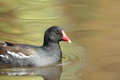 Moorhen. Royalty Free Stock Image - 29919346