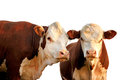 Two Curious Cows Royalty Free Stock Photo - 29924255