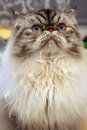 Himalayan Cat Royalty Free Stock Images - 29925839