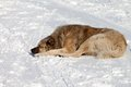 Dog Sleeping On Snow Stock Photo - 29938060