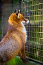 Cute Red Fox In The Cage Royalty Free Stock Photo - 29943855