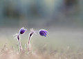 Pasque Flowers Royalty Free Stock Image - 29945286