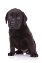 Sad Little Labrador Retriever Puppy Dog Stock Photo - 29955430