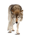 Wolf Over White Background With Shade Stock Photos - 29960913