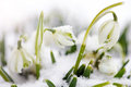 Snowdrops Royalty Free Stock Images - 29981319