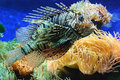 Lion Fish Royalty Free Stock Images - 3002689