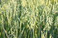 Oat Field Royalty Free Stock Photography - 30019517
