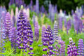 Wild Lupines Royalty Free Stock Photography - 30021057