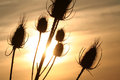 Thistle On Sunset Background Royalty Free Stock Images - 30037219