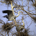 Heron Couple Stock Images - 30060184