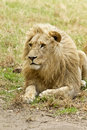 Alert White Lion Stock Image - 30060641