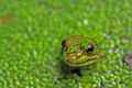 Frog S Head In Pond Weed Stock Image - 3010951