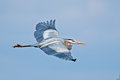 Great Blue Heron Royalty Free Stock Photography - 30112917