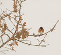 Stonechat Perching On An Oak. Royalty Free Stock Photos - 30126048