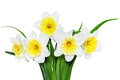 Beautiful Spring Flowers : Yellow-white Narcissus (Daffodil) Stock Images - 30135114