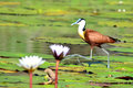 African Jacana Stock Photos - 30140683