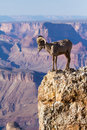 Big Horn Ram Standing On The Edge Of Grand Canyon Royalty Free Stock Photo - 30157875