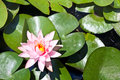 Water Lily With Green Leaves Royalty Free Stock Photos - 30168168