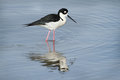 Black-necked Stilt Royalty Free Stock Photo - 30183045