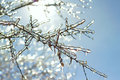 Icy Tree Branches In The Sunlight Stock Images - 30189504