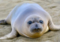 Elephant Seal, New Born Pup Or Infant, Big Sur, California Royalty Free Stock Photography - 30191937