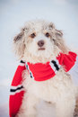 Cute Dog Wearing The Scarf Royalty Free Stock Photography - 30205487