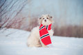 Cute Dog Wearing The Scarf Royalty Free Stock Photo - 30205515
